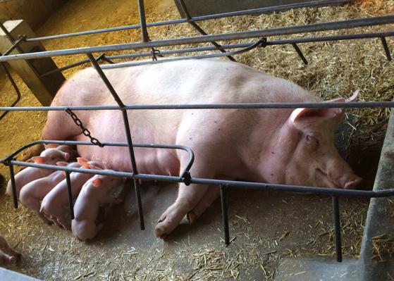 oudste varkensmesterij van Arapoti